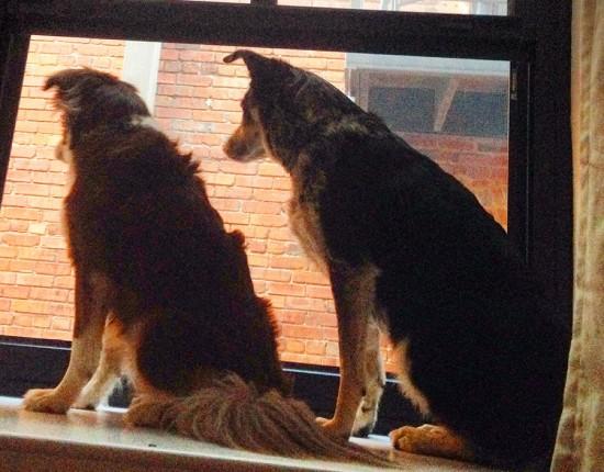 Grnaby-Street-Dogs-In-Window